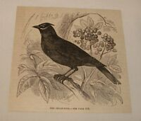 1880 magazine engraving ~ THE CEDAR-BIRD