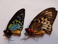 Ornithoptera Priamus Urvillianus (pair A1) - Solomon Islands
