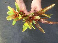 Bromeliad Neoregelia - lot of 10 / PUPS/dart frog/Vivarium /terrarium