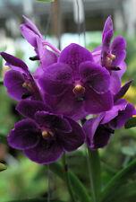 RON. Vanda Orchid. Premium clone - V. Pure Wax