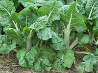 Heirloom Swiss Chard LUCULLUS❋500 SEEDS❋HeavyYields❋HeatTolerant❋COMBINE S/H*