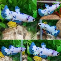 Blue Marble S2 Halfmoon Plakat Female -IMPORT LIVE BETTA FISH FROM THAILAND