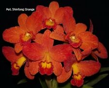 Rhyncattleanthe Shinfong Orange 'Red Orange' Cattleya orchid Wc2016 Mature Size