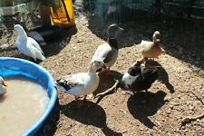 Call Duck Eggs PASTEL, SNOWY, WHITE, BLACK & WHITE BIB ONE (1)