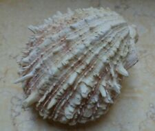 Spondylus spinosus new shells 114 mm RED SEA oyster spiny golden giant collector