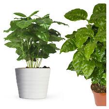 Planta de café Coffea Arábica arbusto de café Planta real 30cm + maceta en juego