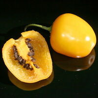 Chilli Aji Amarillo 10 Seeds A Very Popular Chilli in South and Central America