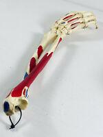 """Vintage 16"""" Anatomical Arm Forearm Hand Medical Bone Skeleton Model"""