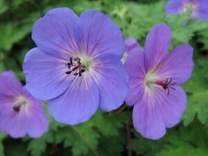 Geranium Rozanne (PBR)-  Good for bees - 3 litre pot - established plant