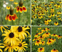 1000 Mexican Hat, Rudbeckia Flower Seeds Lot Gloriosa, Black Eye Susan, Clasping