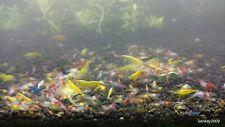 New listing 10 Cull Shrimp - Homebred Neocaridina Shrimp - Free Shipping!