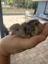 Surprise Box! Turkey & Chicken Fertile/hatching eggs (6+)