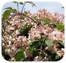 Clematis Vine Montana 'Marjorie' Bare Root Plants x 3 Climbing Double Flowering