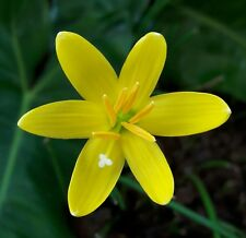 Rain Lily Bulb Zephyranthes 'Yolkster' Rainflower Fairy Magic Lily Flower Size