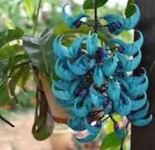 JADE VINE Strongylodon macrobotrys climbing blue-green flowers plant 175mm pot