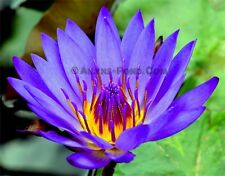 Panama Pacific Tropical Water Lily Ailyns-Pond Live Pond Plants