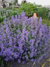 50 PERSIAN CATMINT Mussins Nepeta Racemosa Flower Seeds