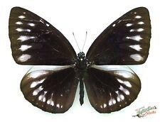 Glorieux Violet Crow Papillons Euploea Gloriosa Ensemble X1 Ts Un Fm Sulawesi