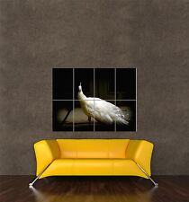 GIANT PRINT POSTER PHOTO NATURE BIRD WHITE PEACOCK FEATHER BEAUTIFUL PDC020