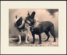 FRENCH BULLDOG TWO DOGS LOVELY DOG PHOTO PRINT MOUNTED READY TO FRAME