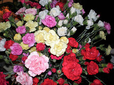 100 Mixed CARNATION / DOUBLE DIANTHUS Chinensis Flower Seeds *Comb S/H