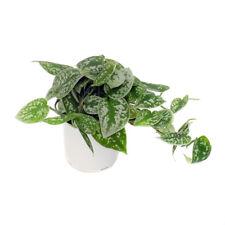 "Pothos Picta - 1 Plants - 8"" to 1 Feet Long - Ship in 3"" Pot"