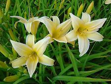 Taglilie Hemerocallis Golden Cceptre Sommerblüher
