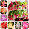 100pcs/bag Schlumbergera flores Christmas cactus plantas,bonsai plant for home