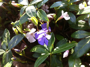 4 Vinca minor  white and blue mixed Periwinkle bare root offsets