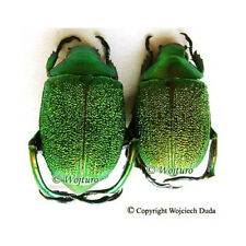 Chrysophora chrysochlora- pair, beautiful, size +25mm