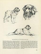 NEWFOUNDLAND DOG VINTAGE 1963 PRINT SKETCH PAGE ARTIST BRIDGET OLERENSHAW