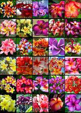 "Plumeria/Frangipani/Flowers/Plants/""Mixed30 Types""/ 310 seeds"