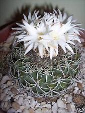 Discocactus bahiensis blooming perfume fragance flowering cactus seed 100 SEEDS