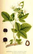 100 Semillas de Zarzamora ( Rubis Fruticosus) seeds