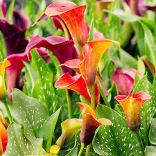 Calla Lily Bulbs, Calla Lily Flowers, Rare Plants Potted (Mixed Color), 10 Pcs