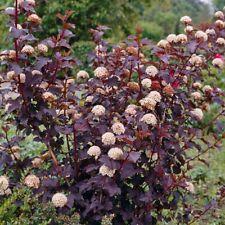 physocarpus opulifolius diabolo pot 3 litres physocarpe à feuilles d'obier