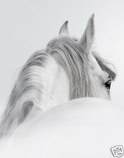 BEAUTIFUL WHITE HORSE * QUALITY CANVAS ART PRINT