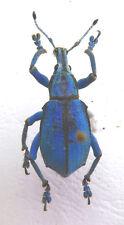 Curculionidae, Eupholus loriae ex Aseki,Papua New Guinea,nice,  n162