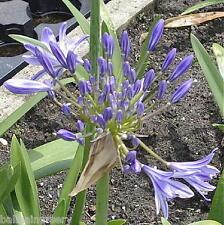 Agapanthus Pacific Blue  violet-blue flowers, garden plant  ex 2 Litre pot