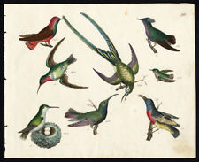 Rare Antique Bird Print-RUBY NECKED HUMMINGBIRD-RED BREASTED CREEPER-Strack-1819