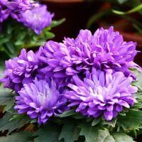 Chrysanthemum Seeds 100PCS Light Purple White Color Flower Potted Plants Garden
