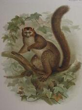 c1880 PRINT KEULEMANS MADAGASCAR ~ LEMUR CORONALUS
