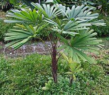 Licuala spinosa (Mangrove Fan Palm) 5 Fresh seeds - Exceptionally Rare!