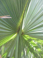 Sabal gretherae gretheriae Extremely Rare Species! Collector Palm - 5 seeds