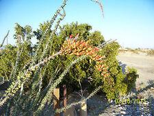 15 Ocotillo Seeds, Fouquieria splendens, Jacob's Staff, Vine Cactus Desert