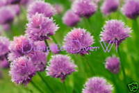 Chives 50+ seeds hardy perennial herb Allium mild taste NON-GMO Organic Heirloom