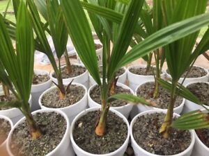 Cold Hardy Windmill Palms Trachycarpus Fortunei(2yrs old) $4.00 TOTAL shipping!