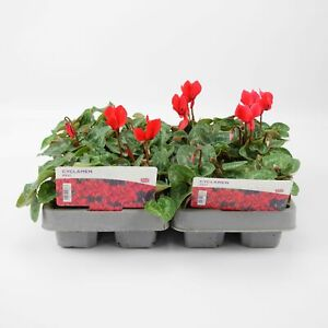 2 X Cyclamen Red 6 Pack (12 Plants)