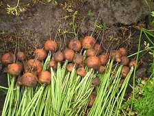 Karotten Runde Möhren alte Sorte rund Pariser Markt Samen Saatgut Saat Romeo