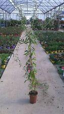 n.3 piante di lycium barbarum bacche di goji vaso 15 cm (foto reali pianta)